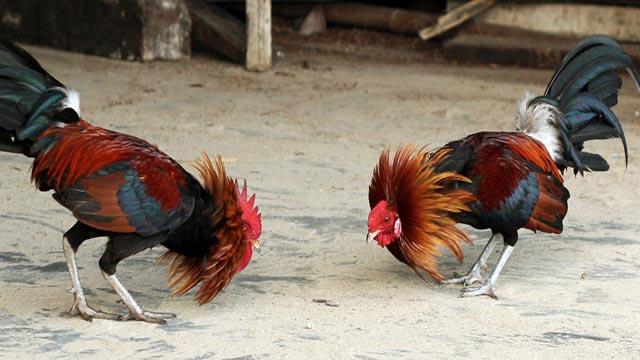 Rahasia Menang Judi Sabung Ayam Online