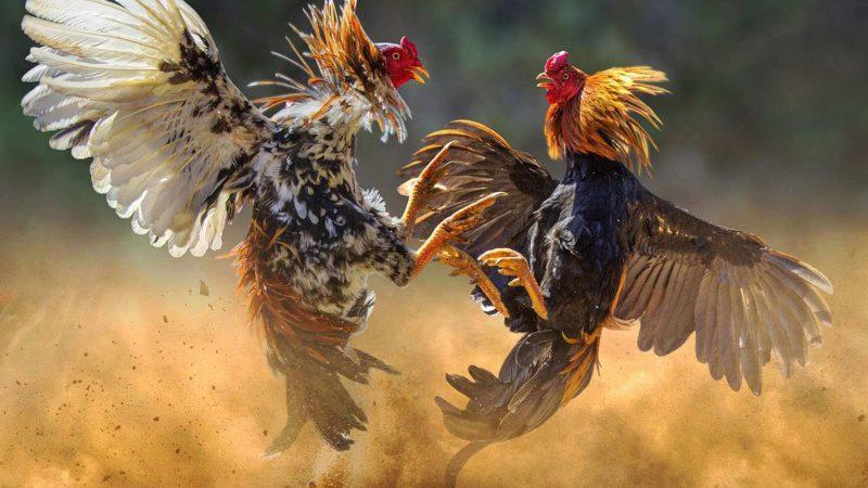 Panduan Bermain Judi Sabung Ayam Online