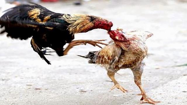 Cara Membuat Akun Judi Ayam Sabung Online